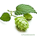 Hops Extract Powder