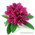 Rhododendron Caucasicum Extract Powder